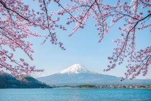 Enjoy the best view of cherry blossoms with the beautiful lake and Mt Fuji